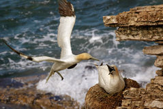 A Gannet returns to the nest Stock Images