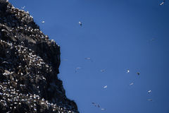 Gannet`s cliff. At the seven island natural reservation in brittany royalty free stock image