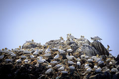 Gannet`s moutain. Top of the gannet cliff colony at the seven island bird reservation stock images
