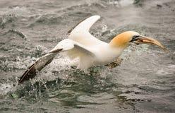 Gannet. Scotland diving for fish bass rock Stock Image