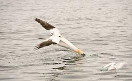 Gannet. Scotland diving for fish bass rock Stock Photo