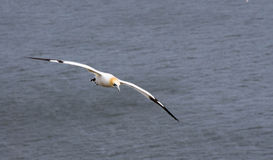 Gannet. From sea bird colony at bempton cliffs Royalty Free Stock Photo