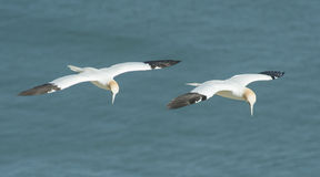Gannet seabird in flight Royalty Free Stock Photography