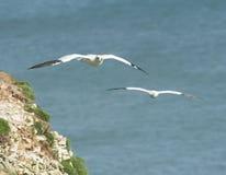 Gannet seabird in flight Stock Images