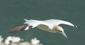 Gannet seabird in flight Stock Image