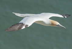 Gannet seabird in flight Royalty Free Stock Photos
