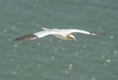 Gannet seabird in flight Royalty Free Stock Images