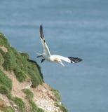 Gannet seabird in flight Royalty Free Stock Photo