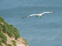 Gannet seabird in flight Royalty Free Stock Photography