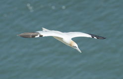 Gannet seabird in flight Stock Photography
