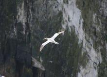 Gannet seabird in flight Royalty Free Stock Photos