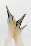Gannet septentrional (bassanus del Morus) que mira hacia el cielo Fotos de archivo