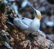 A  gannet sitting  along the coastline of  bempton Cliffs, Yorkshire , UK. A gannet sitting along the coastline at Bempton Cliffs and looking backwards in Royalty Free Stock Photo