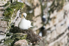Gannet sitting on cliff edge nest Stock Photography