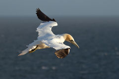 A gannet in the sky. Above the sea Stock Photography