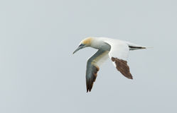 Gannet in the sky Royalty Free Stock Photography