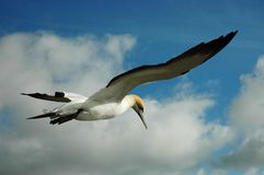 Gannet in the sky royalty free stock image
