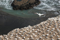 Gannet soaring above nesting colony Royalty Free Stock Image