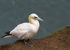 Gannet Royalty Free Stock Image