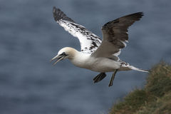 Gannet, Sula bassana Royalty Free Stock Photography