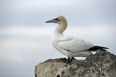 Gannet, Sula bassana Stock Images