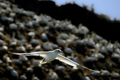 Gannet at take off. A northern gannet flying after taking of the cliff royalty free stock photos