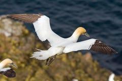 Gannet taking flight Stock Images