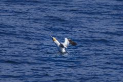 Gannet taking off the sea. A northern gannet trying to take off the sea royalty free stock photography
