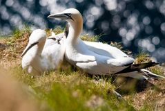 Gannet in their nest Royalty Free Stock Photography
