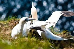 Gannet in their nest Stock Photo
