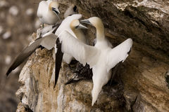 Gannet at Troup Head Stock Photo