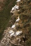 Gannet at Troup Head Royalty Free Stock Images