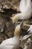 Gannet at Troup Head Stock Images