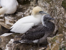 Gannet at Troup Head Stock Image
