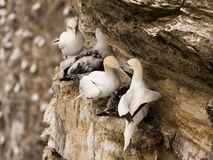 Gannet at Troup Head. Northern Gannet at Troup Head RSPB, Scotland Stock Photo