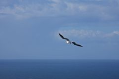 Gannet at Troup Head Royalty Free Stock Photography