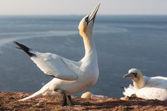 Free Gannet Trying To Impose Female Bird In Breeding Colony Helgoland Stock Image - 112425821