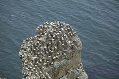 Gannet-Verschachtelung auf einem Zutageliegen des Felsens über der Nordsee nahe Bem Stockbild
