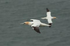 Gannet. Stock Photo