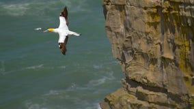 Gannet-Vogel im Flug stock video footage