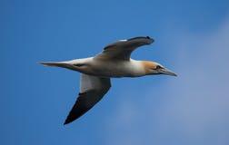 Gannet w locie. obrazy royalty free