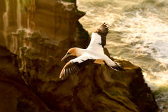 Gannet w locie Zdjęcie Royalty Free