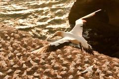 Gannet w locie nad ptasią kolonią Obraz Royalty Free