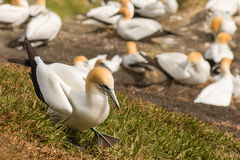 Gannet walking above nesting colony Stock Photo