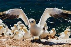 Gannet wciąż z otwartymi skrzydłami po lądować w lęgowej koloni przy Helgoland zdjęcie stock