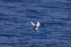Gannet, welches das Meer entfernt lizenzfreie stockfotografie
