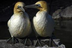 gannetpar Arkivfoton