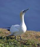 Gannets在Helgoland 图库摄影