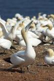 Gannets殖民地 免版税图库摄影