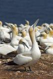 Gannets殖民地 免版税库存图片